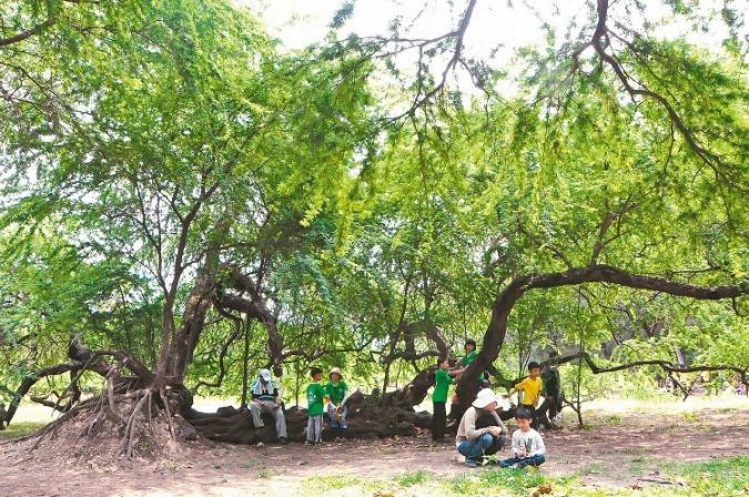 三崁店舊糖廠宿舍區內的「墨西哥合歡」,是樹齡84年以上的珍貴老樹,相當罕見。 記者綦守鈺/攝影